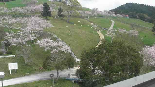 千葉県酪農のさとから牧場・白牛・桜