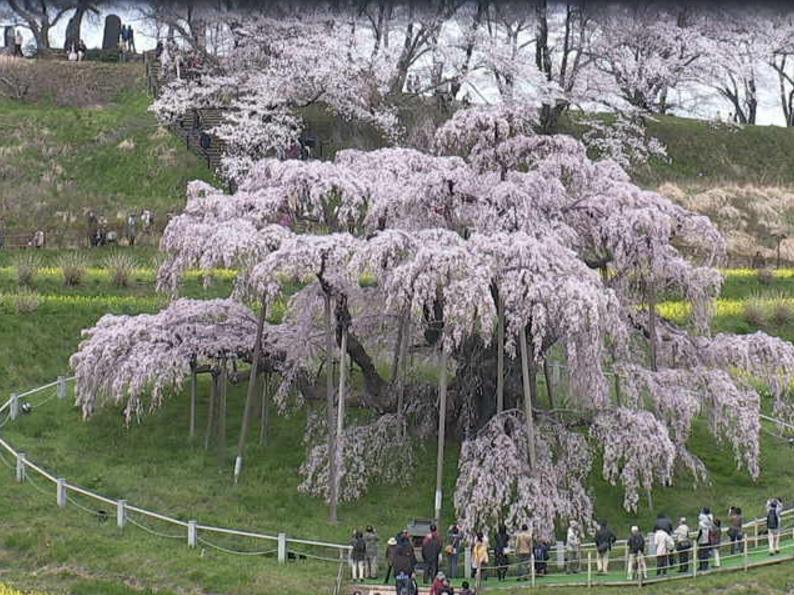 三春滝桜ライブカメラ(福島県三春町滝)