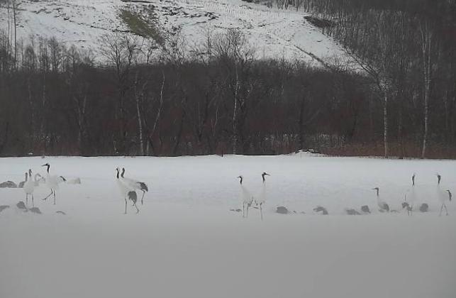 タンチョウ観察センタービオトープライブカメラ(北海道釧路市阿寒町)