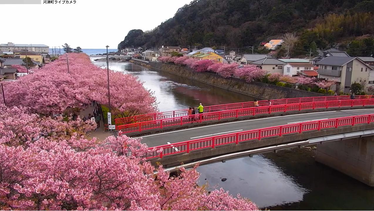 河津桜まつりライブカメラ(静岡県河津町浜)