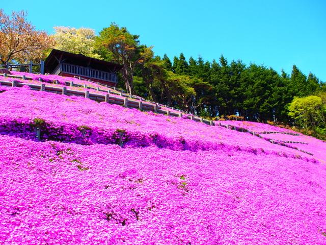 芝桜ライブカメラ