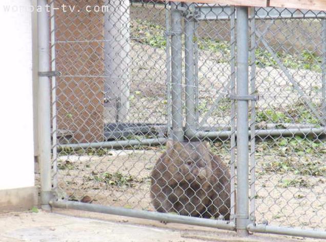 五月山動物園ウォンバット屋外第1ライブカメラ(大阪府池田市綾羽)