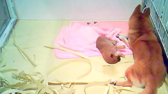 世界の名犬牧場子犬の子育てルームライブカメラ