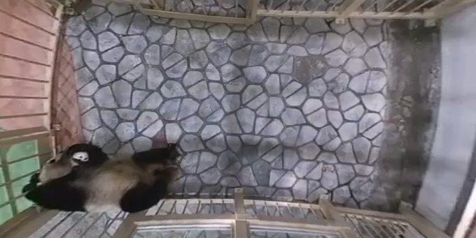 アドベンチャーワールドジャイアントパンダ赤ちゃんライブカメラ(和歌山県白浜町堅田)