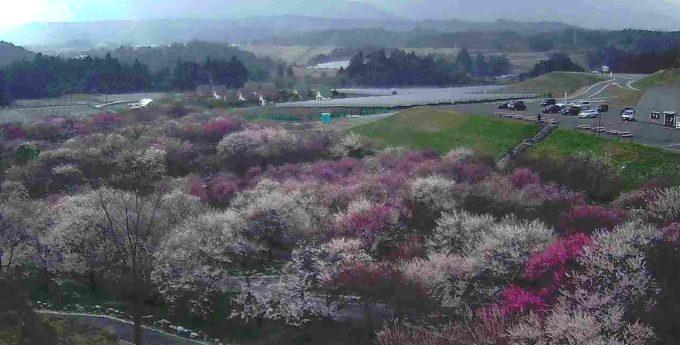 いなべ市農業公園梅まつり開花状況第2ライブカメラ(三重県いなべ市藤原町)