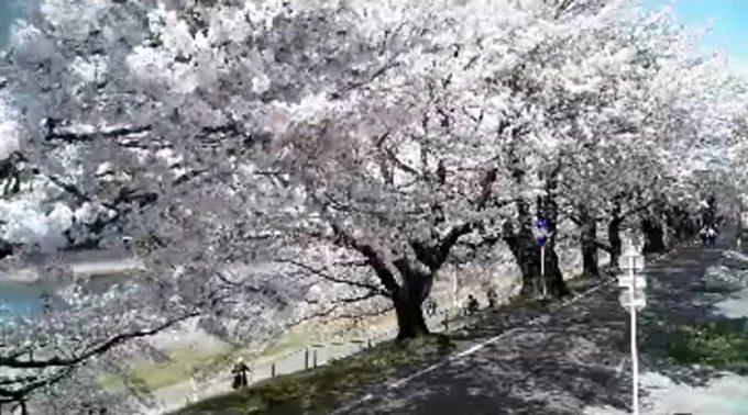 大河原一目千本桜ライブカメラ(宮城県大河原町大谷)